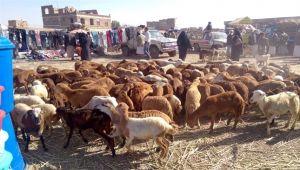 تهريب المواشي من تهامة إلى السعودية يهدد الثروة الحيوانية في اليمن (تقرير)
