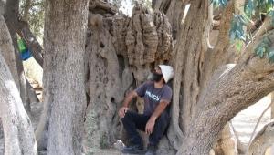 عمرها 5 آلاف سنة.. تعرف على أقدم شجرة زيتون في فلسطين