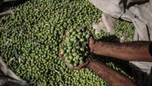 لأول مرة منذ 25 عاما.. غزة تحقق الاكتفاء الذاتي من زيت الزيتون