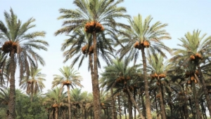 """كدليل للثقافة العربية.. اليونسكو تدرج """"النخلة"""" بقائمتها للتراث الإنساني"""