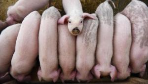 الموت القادم من الخنازير.. كيف نحمي أنفسنا منه؟