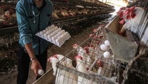 الكويت تحظر استيراد الدجاج والبيض من السعودية بسبب إنفلونزا الطيور