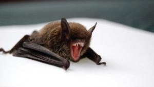 منظمة الصحة العالمية تحسم جدل نشأة كورونا وعلاقته بالخفافيش