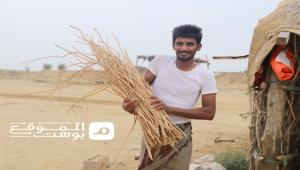 تضرر تجارة وزراعة الأراك شمال غرب اليمن بسبب الحرب وإغلاق المنافذ (تقرير مصور)