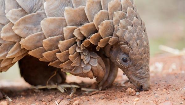 حيوان جديد ينضم إلى الثعابين والخفافيش كمخزن لفيروس كورونا.. ما هو؟