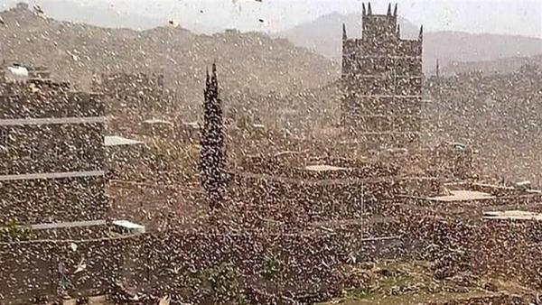 أسراب الجراد تجتاح العاصمة صنعاء