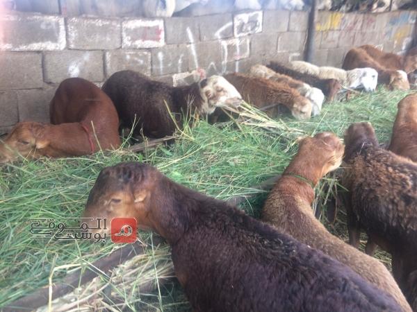 هل ينقل لحم الأضحية فيروس كورونا؟