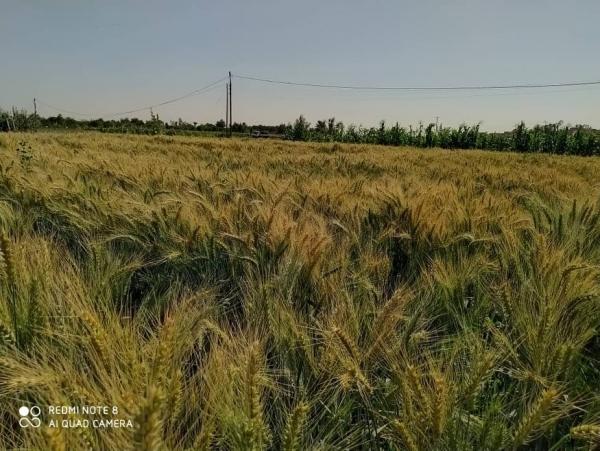 بعد نجاح كافة مراحل الاختبار.. مأرب تعلن بدء زراعة صنف جديد من القمح