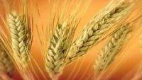 معجنات بروتين الذرة.. بديل آمن لمرضى حساسية القمح