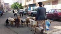 أغنام ومواشي تغزو شوارع صنعاء