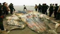 الثروة السمكية تكشف هوية الجسم البحري في ساحل أبين