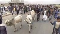 الحوثيون يقدمون أبقارا مقابل رؤوس مشايخ بعمران