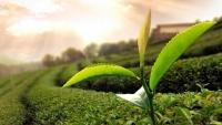 الشاي الأخضر يساعد بمكافحة البكتيريا المقاومة للمضادات الحيوية