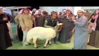سعر خيالي.. نعجة من سلالة نادرة في الكويت بـ131 ألف دولار