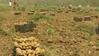 مأرب.. توسع زراعي وزيادة في إنتاج الفواكه والخضروات رغم الحرب والحصار (تقرير)