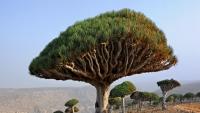مسؤول يمني: الإمارات تهرب أشجارا نادرة من سقطرى