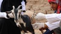 الأمم المتحدة توقف برنامجًا لتحصين الحيوانات في اليمن بسبب نقص التمويل