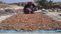 الأمم المتحدة: الجراد الصحراوي يهدد الملايين في اليمن والقرن الأفريقي