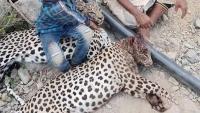 النمر العربي النادر يواجه خطر الانقراض في اليمن